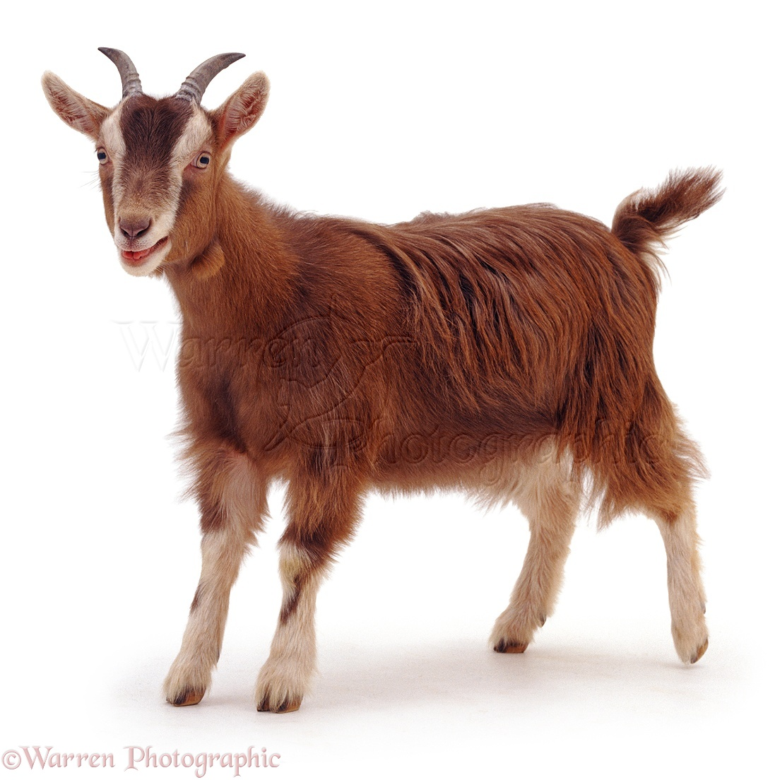 Images of Goat | 1097x1104
