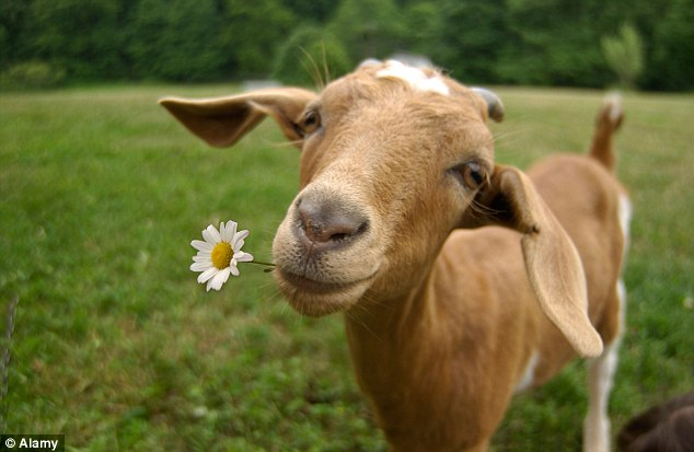 Amazing Goat Pictures & Backgrounds