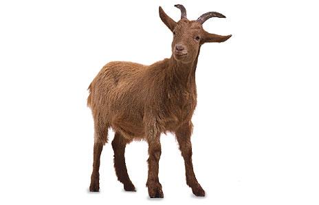 Goat Backgrounds, Compatible - PC, Mobile, Gadgets| 464x298 px