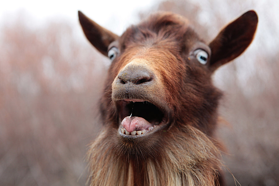 Nice Images Collection: Goat Desktop Wallpapers