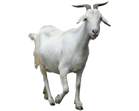 Images of Goat | 445x355