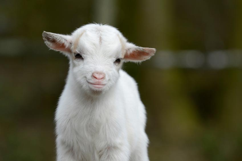 HD Quality Wallpaper | Collection: Animal, 849x565 Goat
