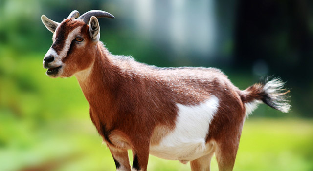 Goat High Quality Background on Wallpapers Vista