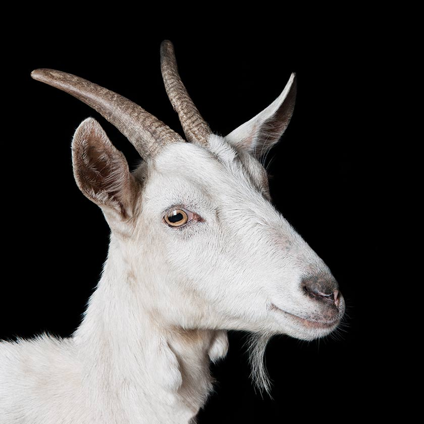 Nice wallpapers Goat 840x840px