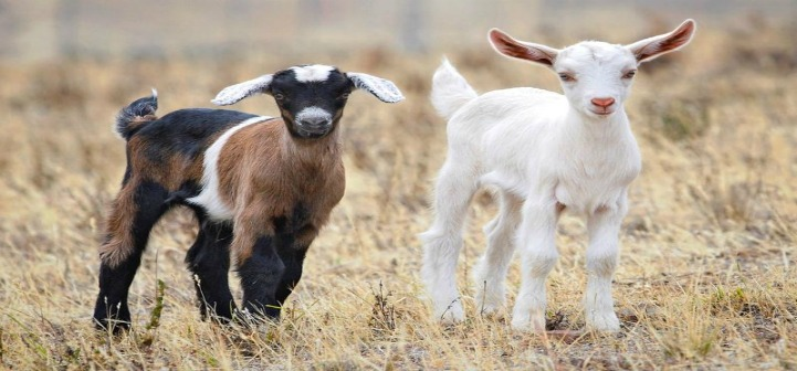 HD Quality Wallpaper | Collection: Animal, 721x336 Goat