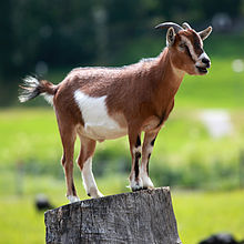 Nice wallpapers Goat 220x220px