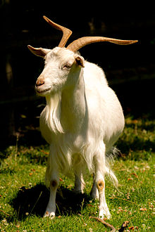 Nice wallpapers Goat 220x330px