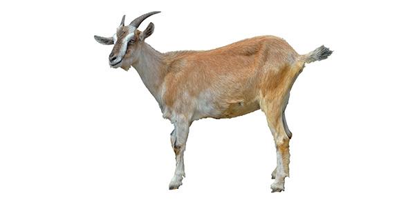 Goat Pics, Animal Collection