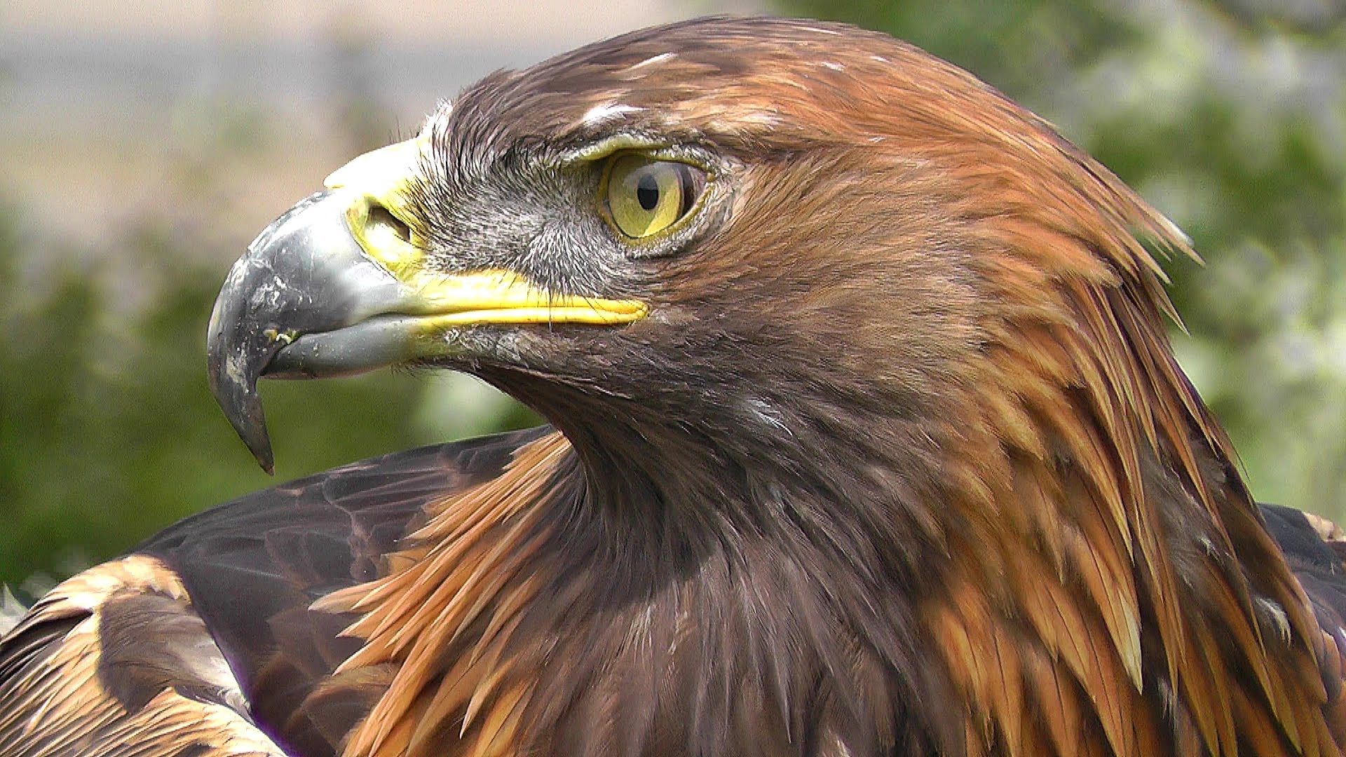 Nice wallpapers Golden Eagle 1920x1080px