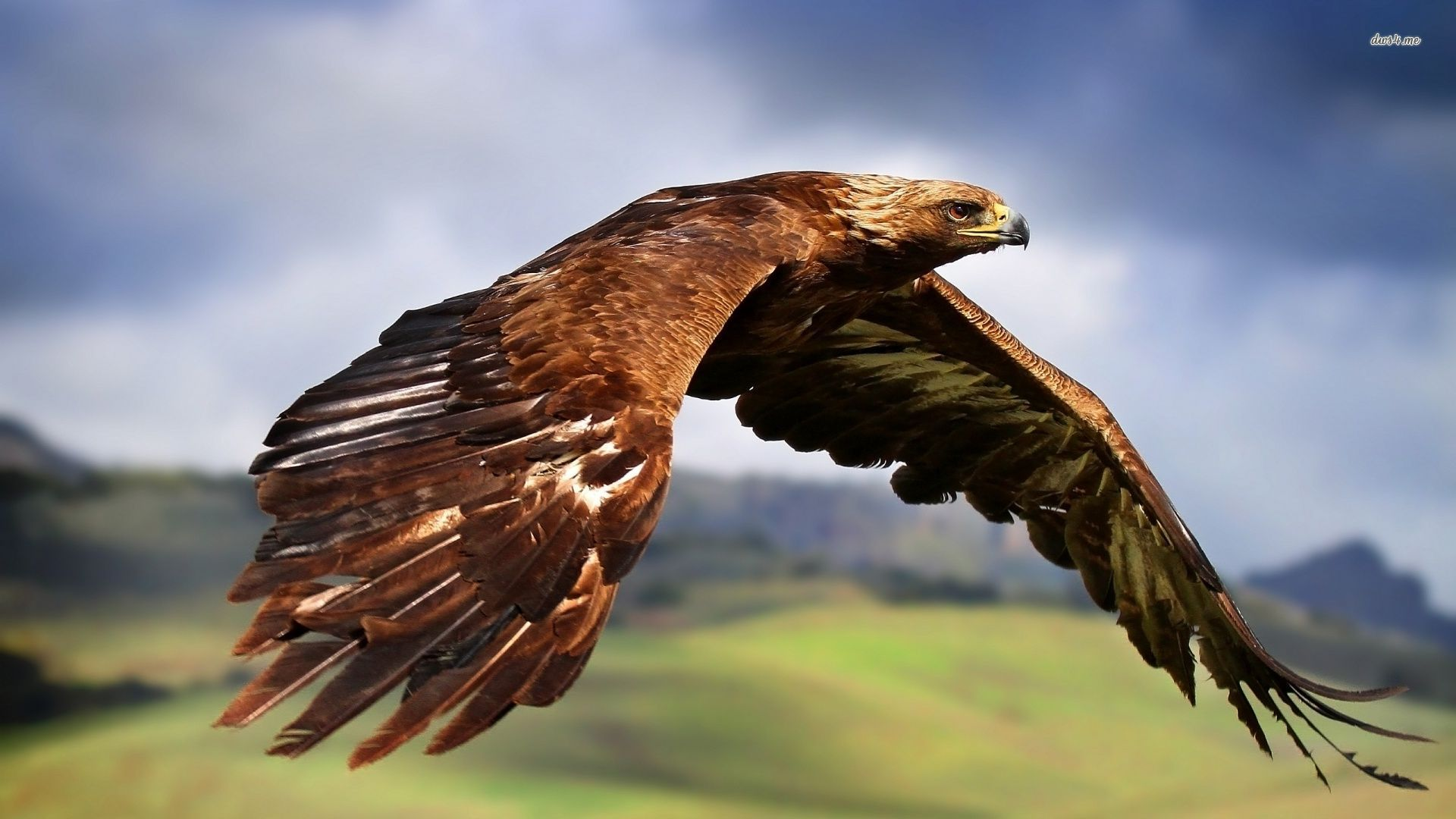 Golden Eagle Wallpapers Animal Hq Golden Eagle Pictures 4k Wallpapers 2019