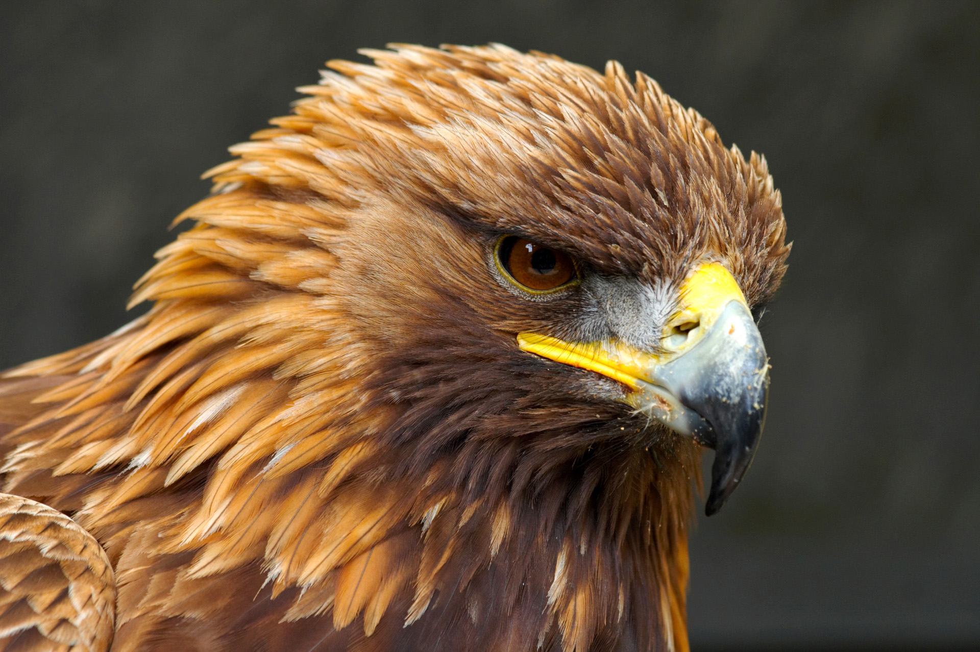 Golden Eagle High Quality Background on Wallpapers Vista