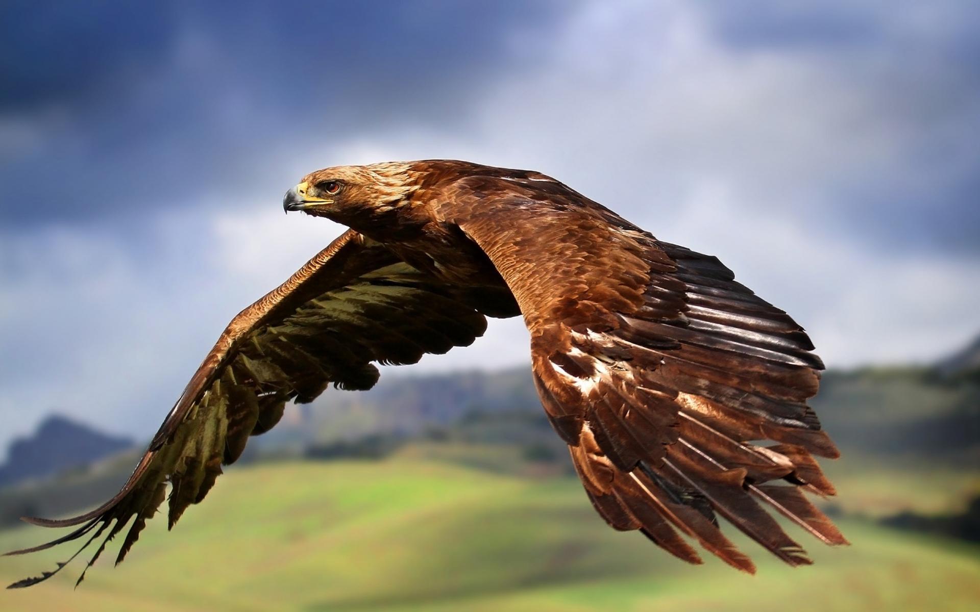 HQ Golden Eagle Wallpapers | File 148.93Kb