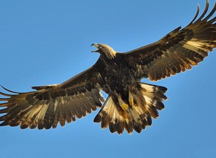 Images of Golden Eagle | 434x319