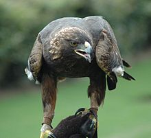 Golden Eagle Pics, Animal Collection