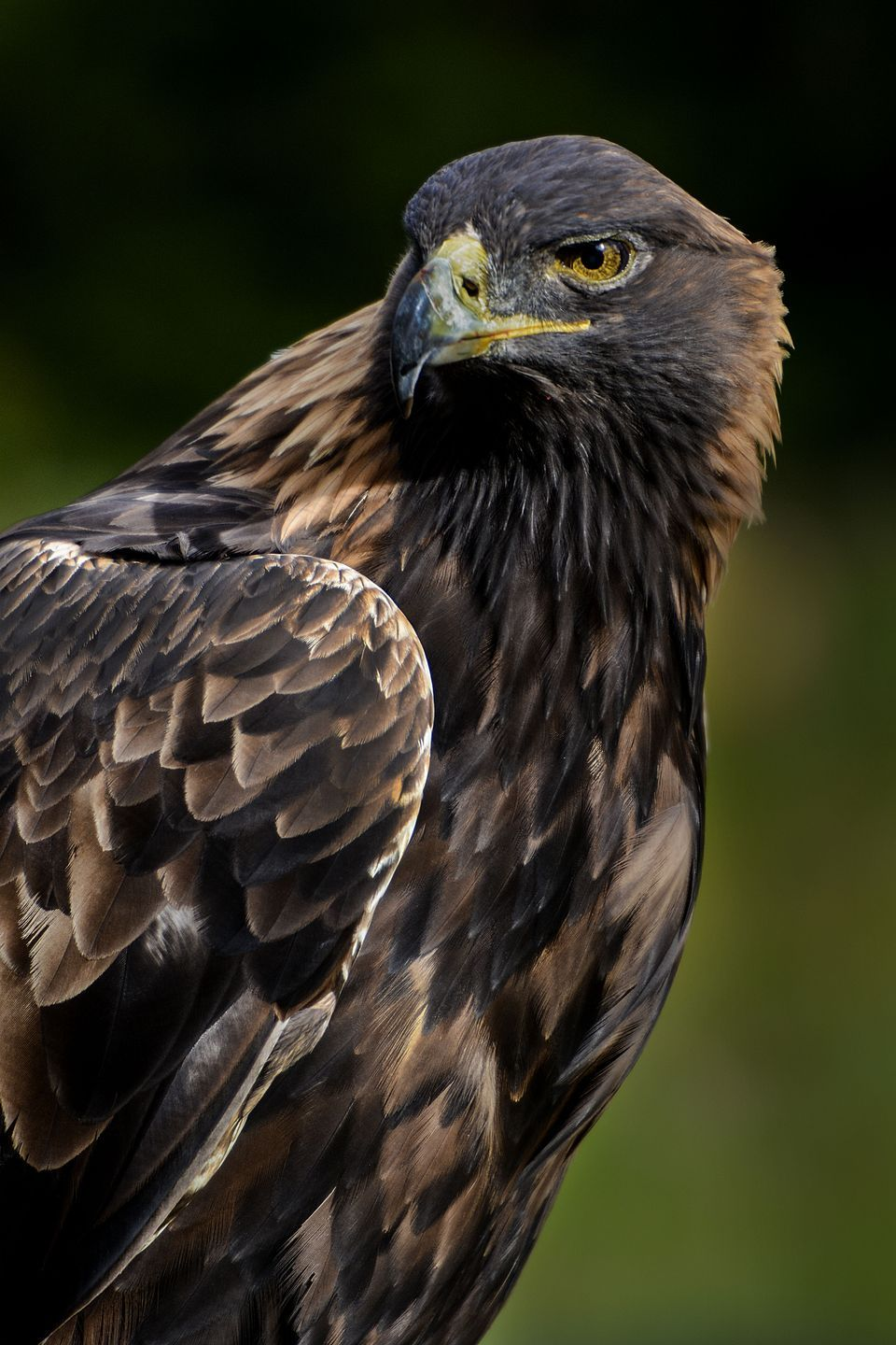HD Quality Wallpaper | Collection: Animal, 960x1440 Golden Eagle