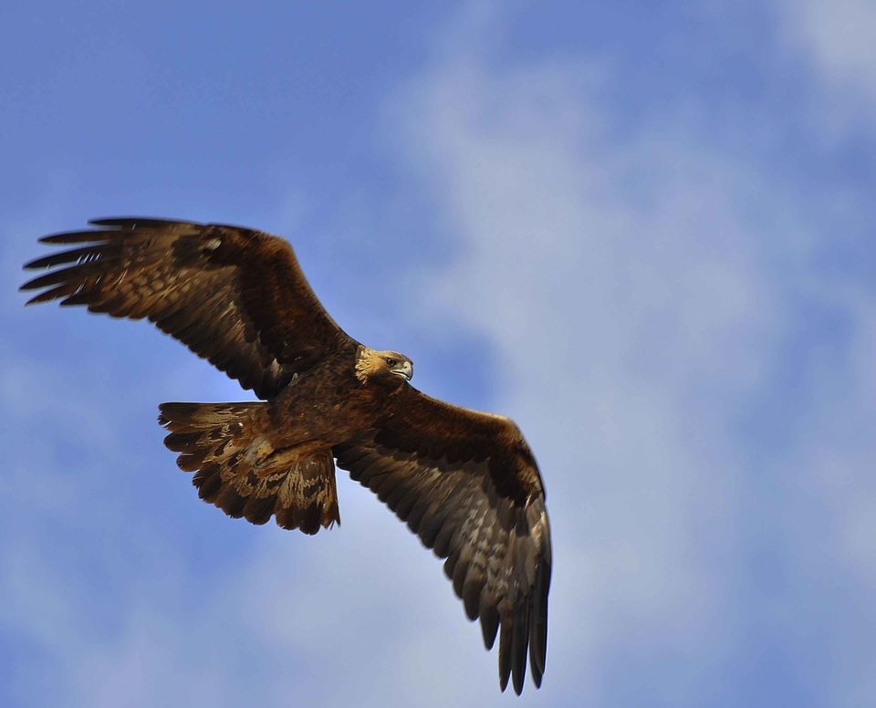 HD Quality Wallpaper | Collection: Animal, 960x776 Golden Eagle