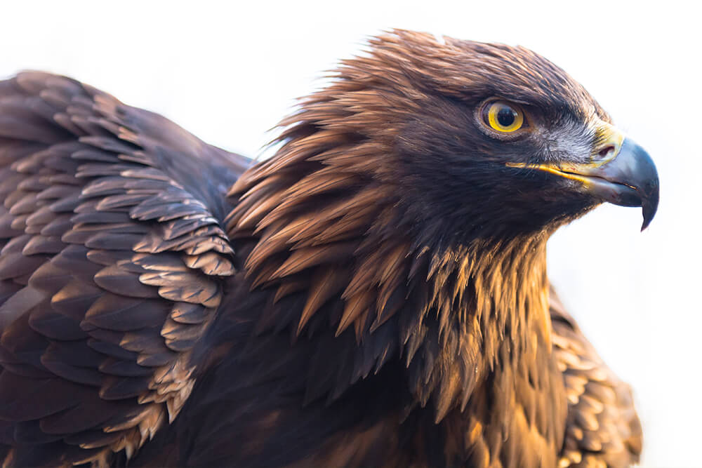Amazing Golden Eagle Pictures & Backgrounds