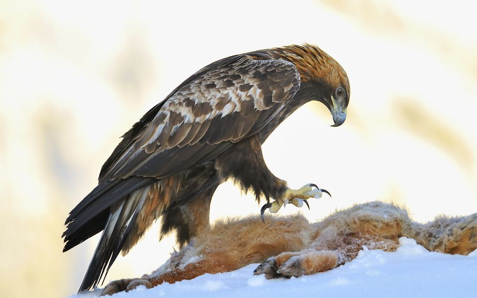 Nice Images Collection: Golden Eagle Desktop Wallpapers