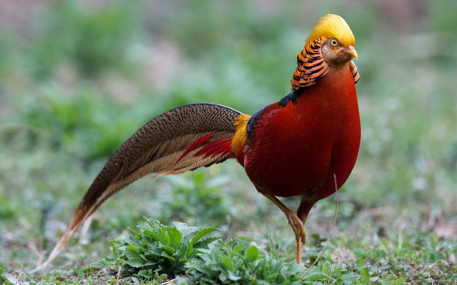Nice Images Collection: Golden Pheasant Desktop Wallpapers