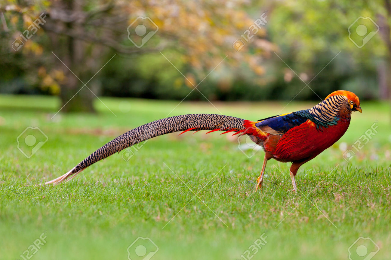 Golden Pheasant Backgrounds on Wallpapers Vista