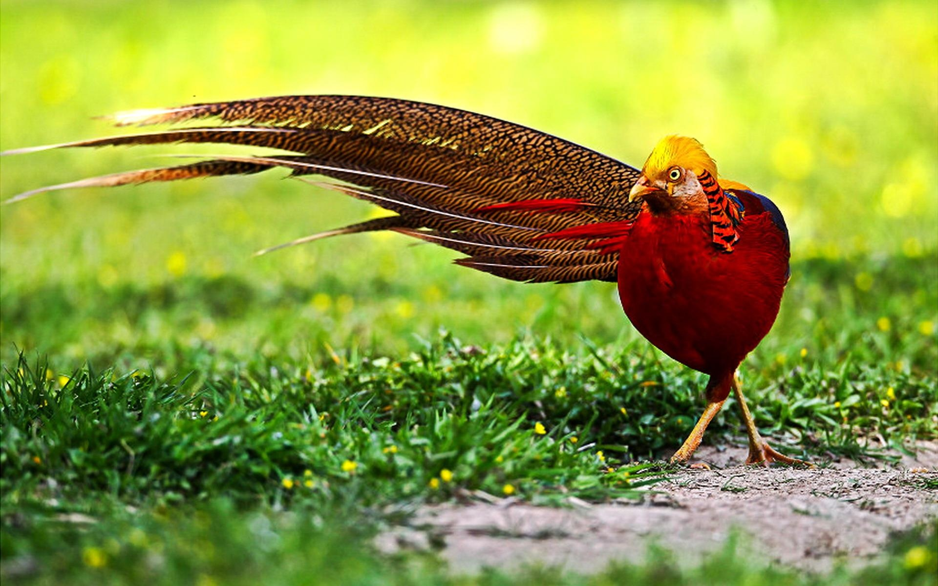 HQ Golden Pheasant Wallpapers | File 414.24Kb