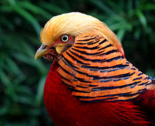 HQ Golden Pheasant Wallpapers | File 15.07Kb