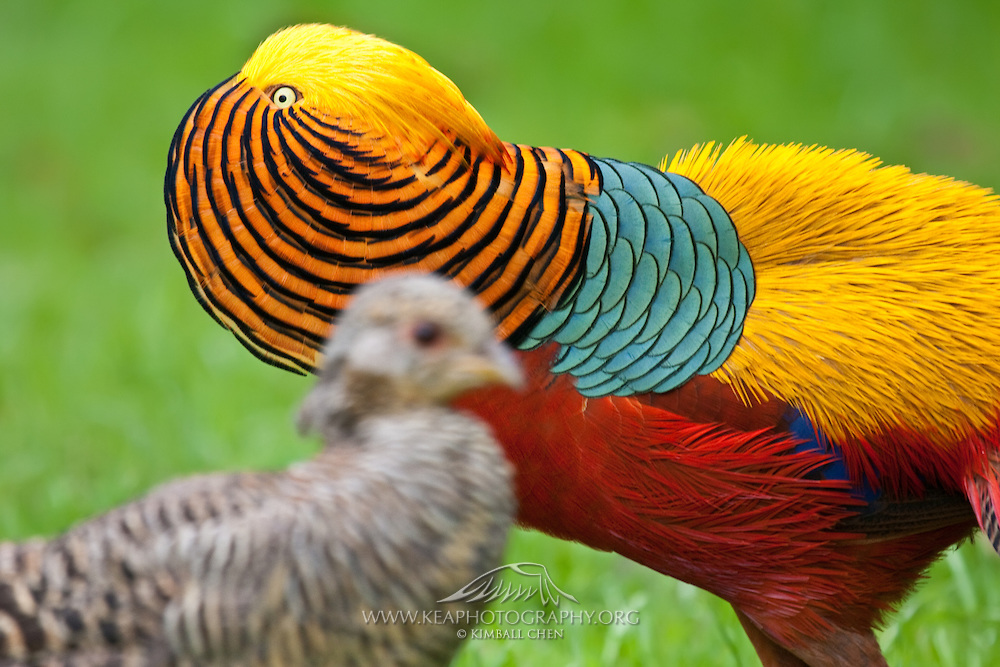 HD Quality Wallpaper | Collection: Animal, 1000x667 Golden Pheasant