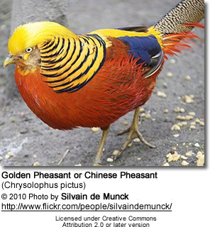 Golden Pheasant High Quality Background on Wallpapers Vista