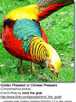 HQ Golden Pheasant Wallpapers | File 49.11Kb