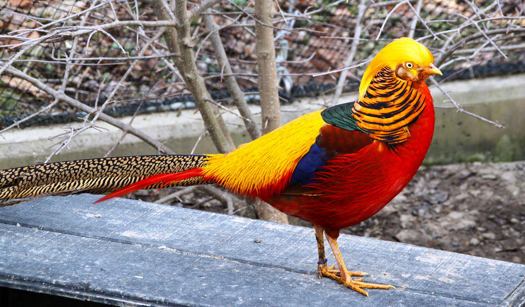 Amazing Golden Pheasant Pictures & Backgrounds