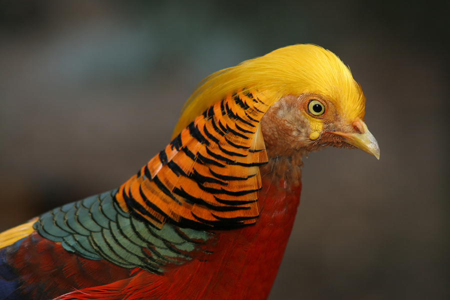 Nice wallpapers Golden Pheasant 900x600px