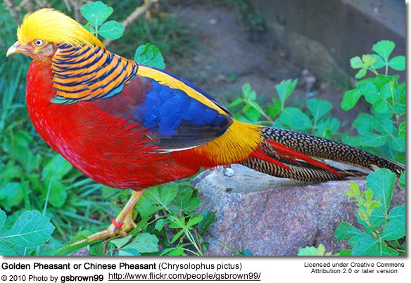 Images of Golden Pheasant | 584x403