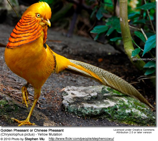 HQ Golden Pheasant Wallpapers | File 69.03Kb