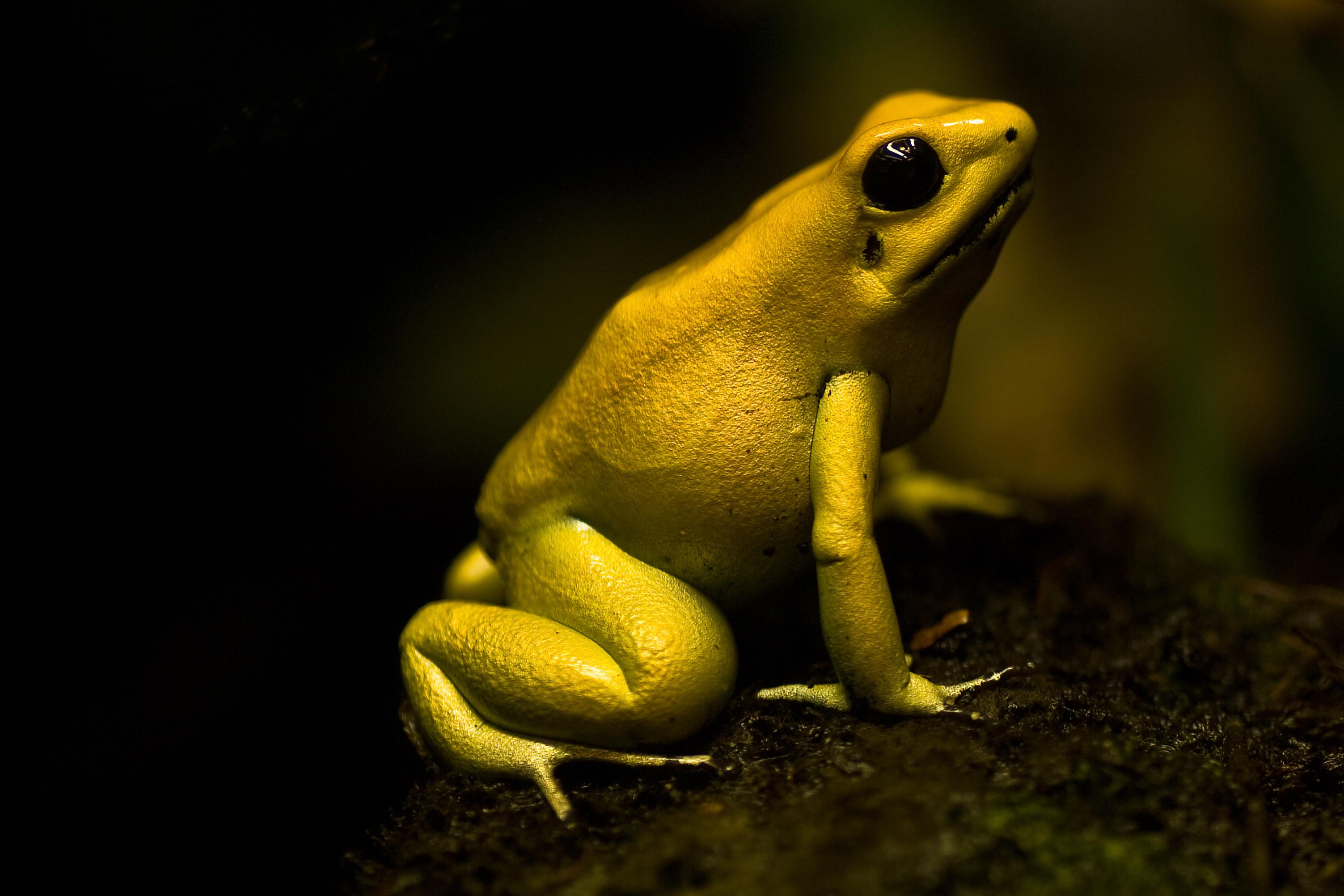 HQ Golden Poison Frog Wallpapers | File 1580.97Kb