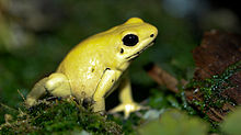 Golden Poison Frog High Quality Background on Wallpapers Vista