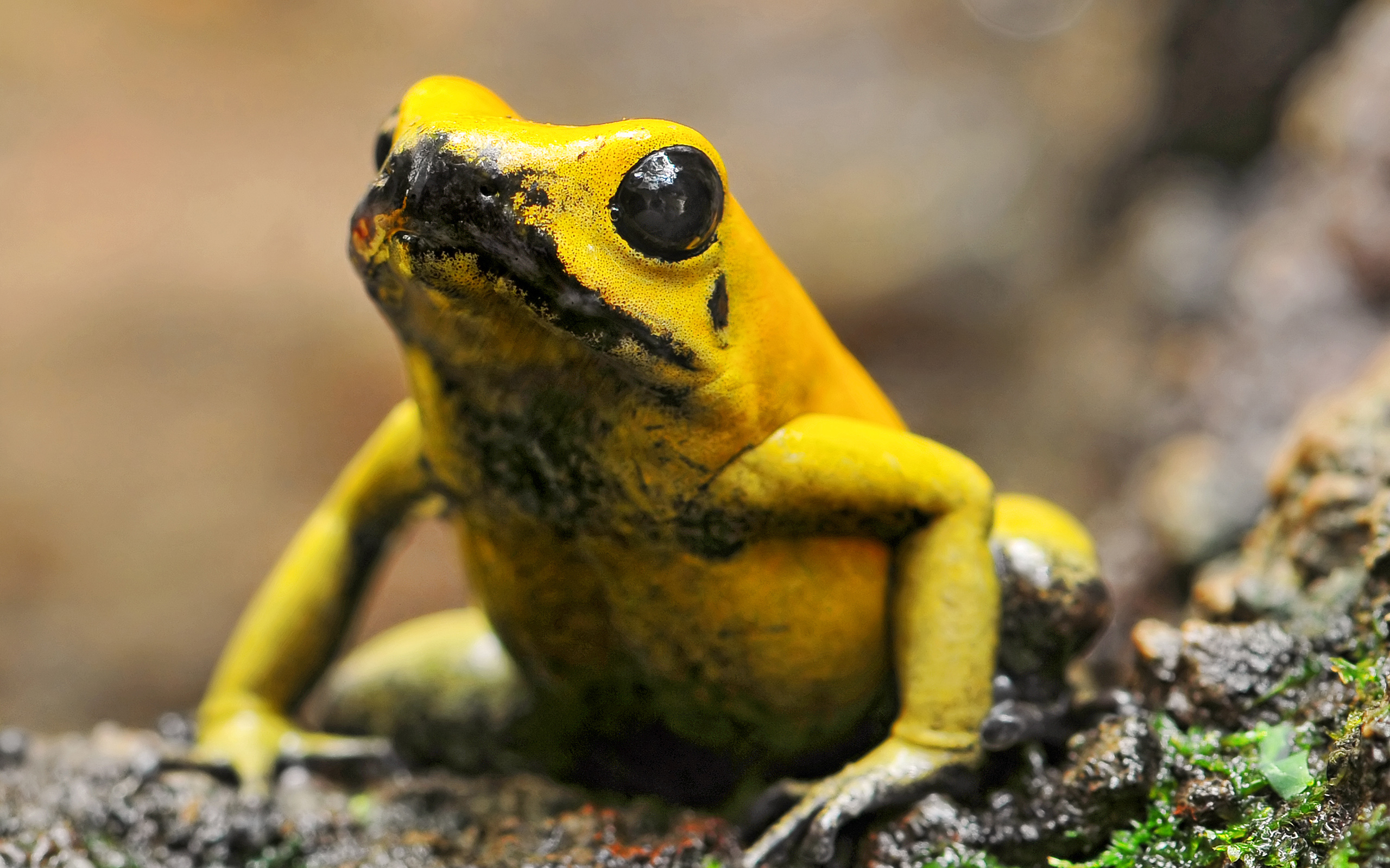 Images of Golden Poison Frog | 2560x1600