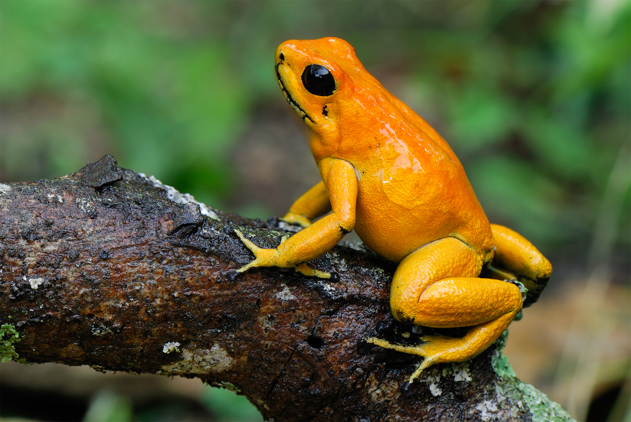 HD Quality Wallpaper | Collection: Animal, 2048x1371 Golden Poison Frog