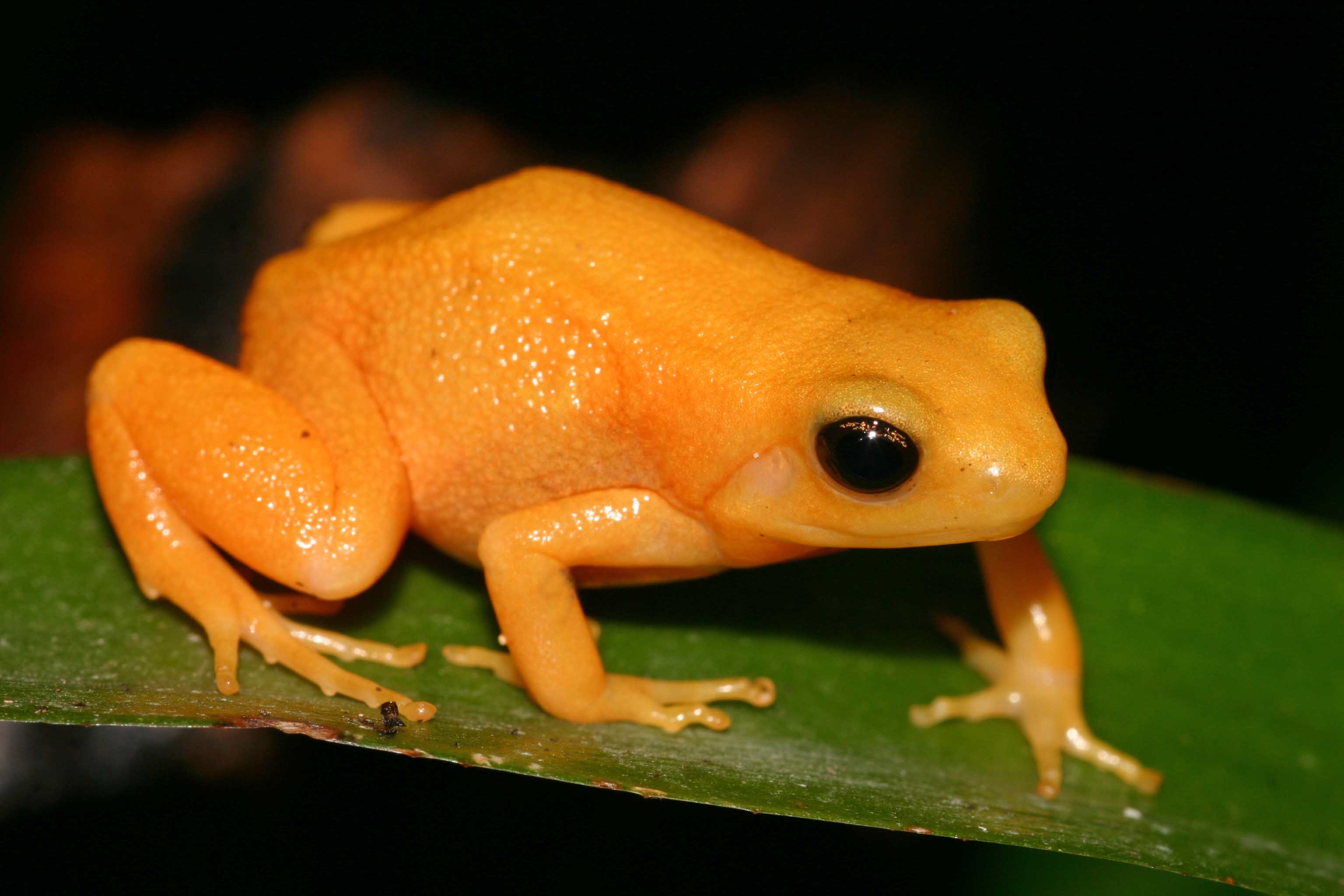 Nice wallpapers Golden Poison Frog 3072x2048px