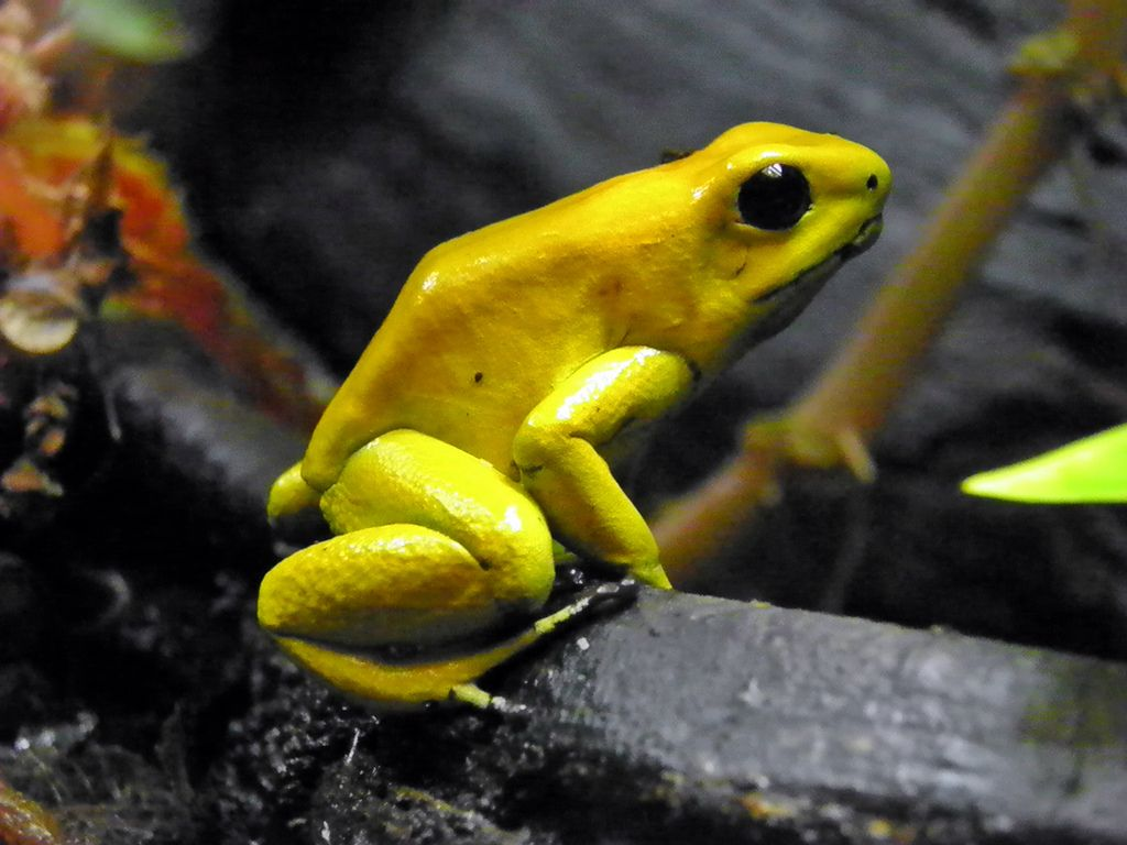 Golden Poison Frog Pics, Animal Collection