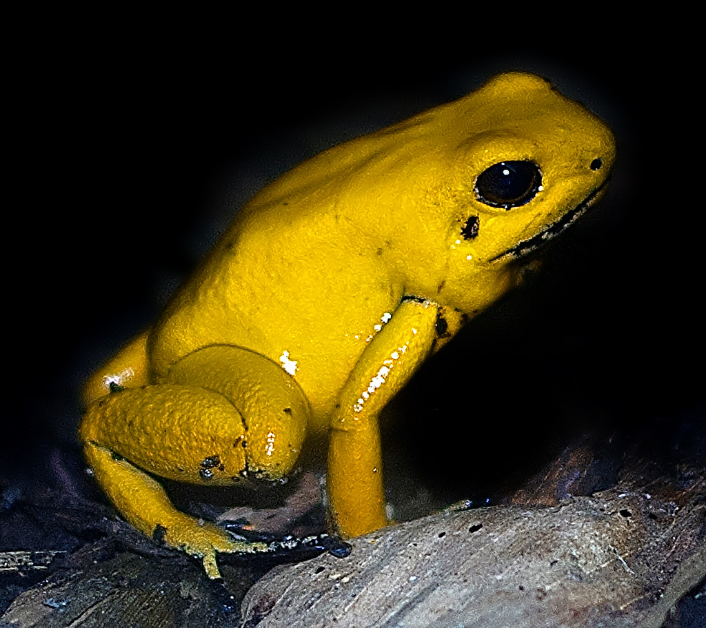 HD Quality Wallpaper | Collection: Animal, 1024x911 Golden Poison Frog