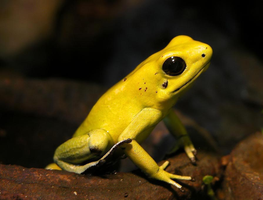 Amazing Golden Poison Frog Pictures & Backgrounds