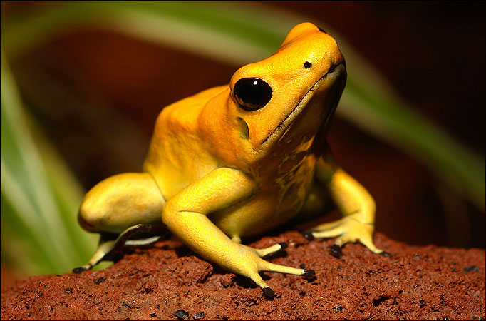 Nice Images Collection: Golden Poison Frog Desktop Wallpapers