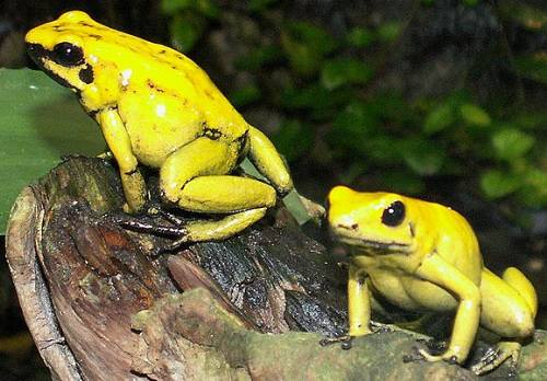 Nice wallpapers Golden Poison Frog 500x348px