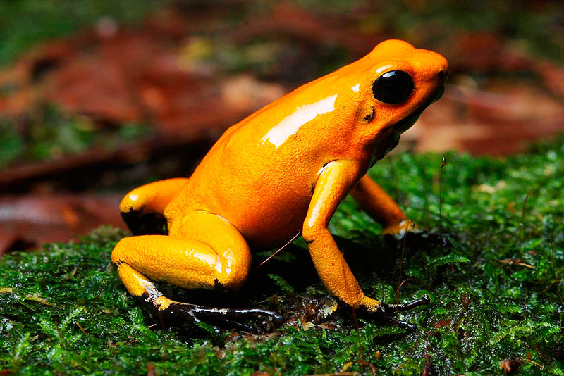 800x534 > Golden Poison Frog Wallpapers