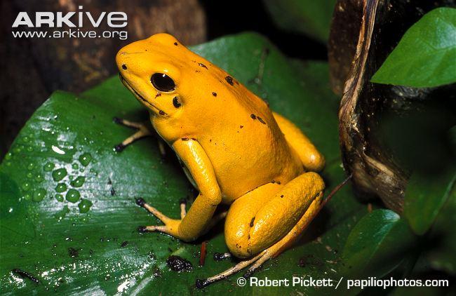 HQ Golden Poison Frog Wallpapers | File 64.4Kb