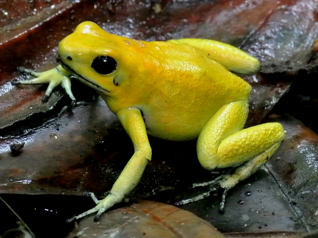 650x488 > Golden Poison Frog Wallpapers