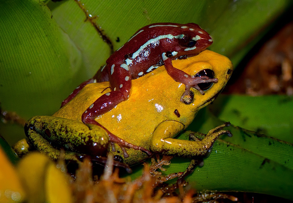 950x659 > Golden Poison Frog Wallpapers