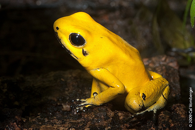 HD Quality Wallpaper | Collection: Animal, 640x427 Golden Poison Frog