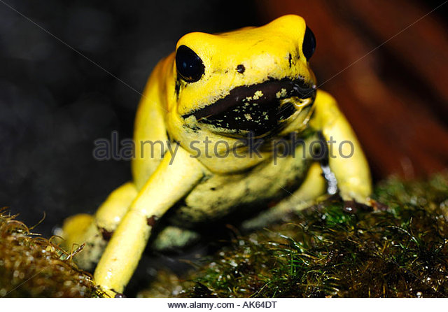 Images of Golden Poison Frog | 640x446