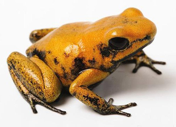 600x433 > Golden Poison Frog Wallpapers